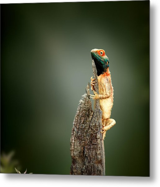 Ground Agama Sunbathing Metal Print