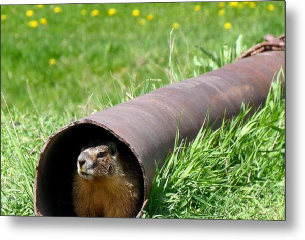 Groundhog In A Pipe Metal Print