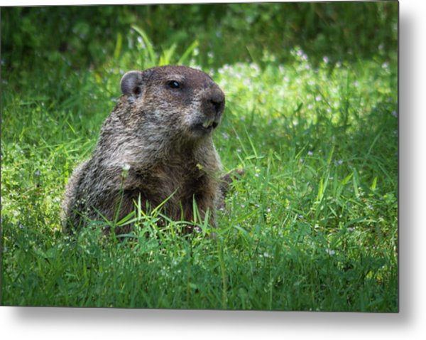 Groundhog Posing  Metal Print