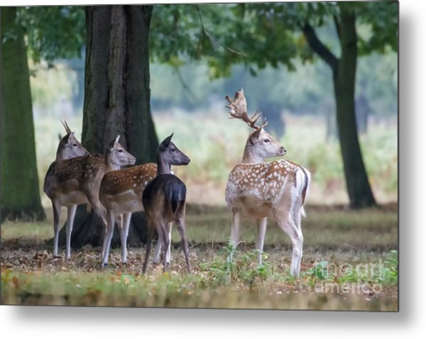 Group Of Four Fallow Deer - Dama Dama - Startled By Something On T Metal Print