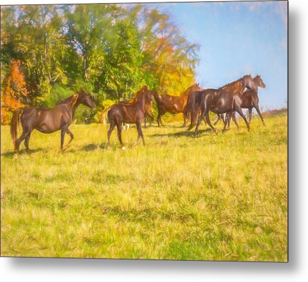 Group Of Morgan Horses Trotting Through Autumn Pasture. Metal Print
