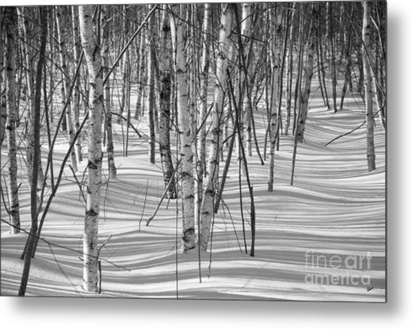 Group Of White Birches Metal Print