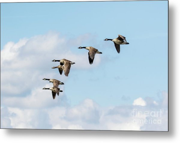 Group Or Gaggle Of Canada Geese - Branta Canadensis - Flying, In F Metal Print