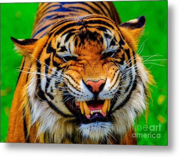 Growling Tiger Metal Print