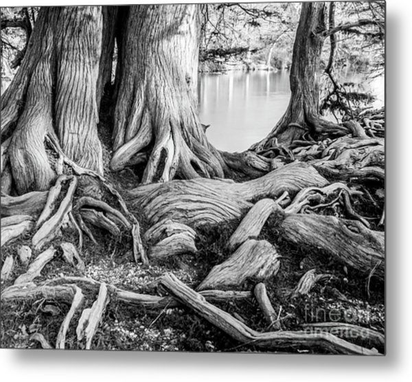 Guadalupe Bald Cypress In Black And White Metal Print