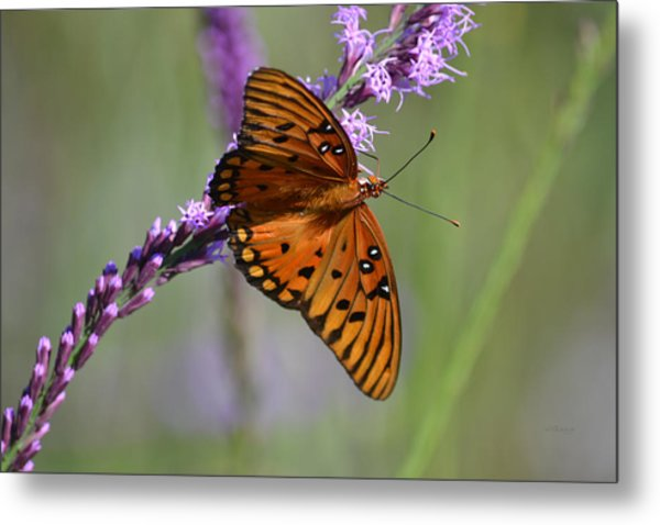 Gulf Fritillary Butterfly On Liatris Metal Print