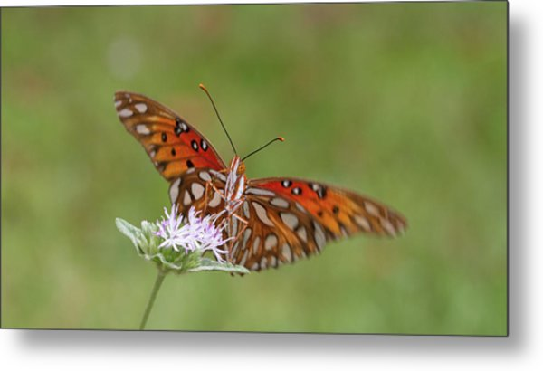Gulf Fritillary On Elephantsfoot Metal Print