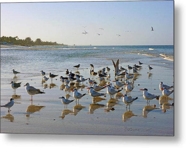 Gulls And Terns On The Sanbar At Lowdermilk Park Beach Metal Print
