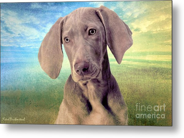 Gunshy Weimaraner Looking For Loving Home Metal Print