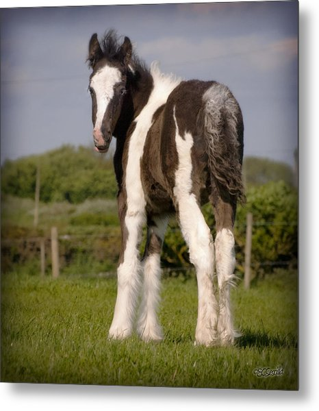 Gypsy Horse Foal Metal Print by Elizabeth Sescilla