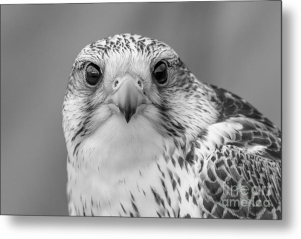 Gyr Falcon Portrait In Black And White Metal Print