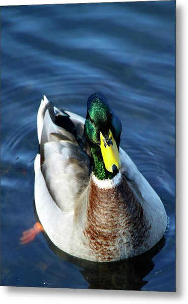 Handsome Male Mallard Metal Print