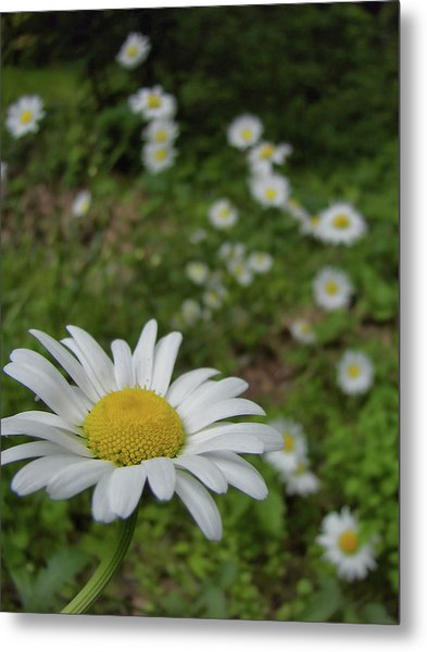 Happy Daisy Metal Print by JAMART Photography