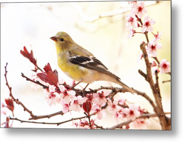 Happy Goldfinch Metal Print