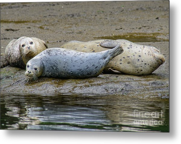 Harbor Seal Banana Pose Metal Print