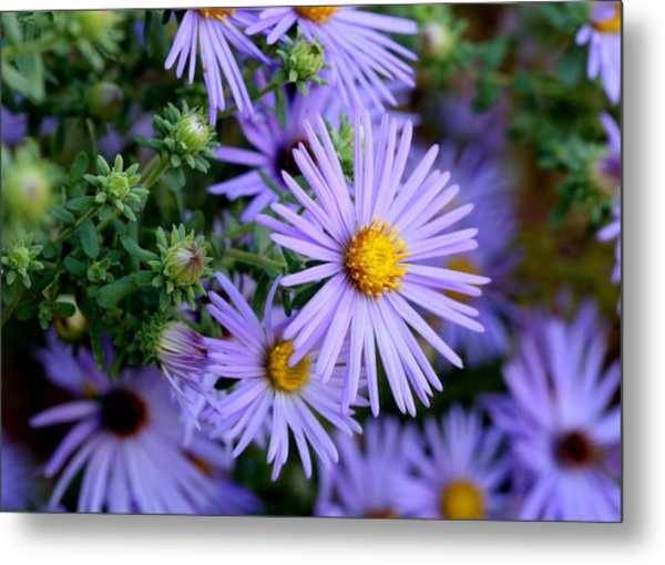 Hardy Blue Aster Flowers Metal Print