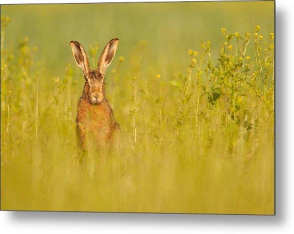 Hare In Mustard Crop Metal Print