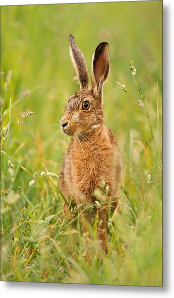 Hare In The Grass Metal Print