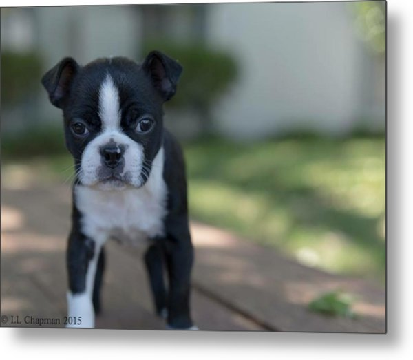 Harley As A Puppy Metal Print