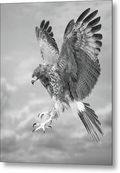 Harris's Hawk Metal Print