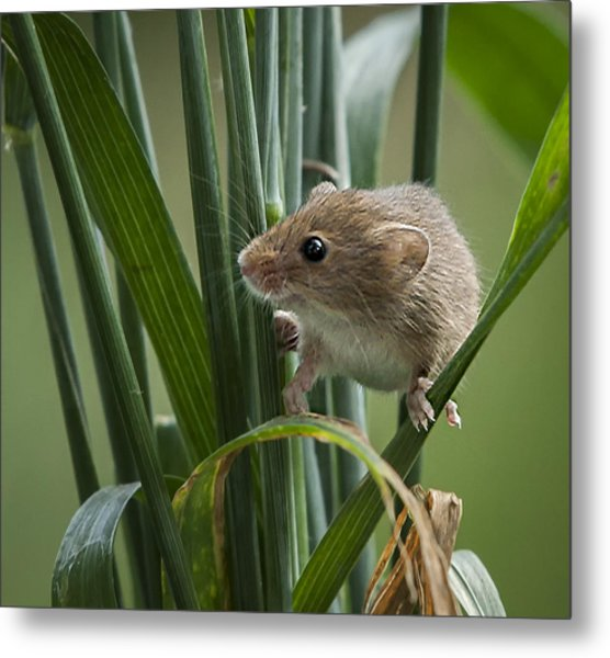 Harvest Mouse Close Up Metal Print by Philip Pound