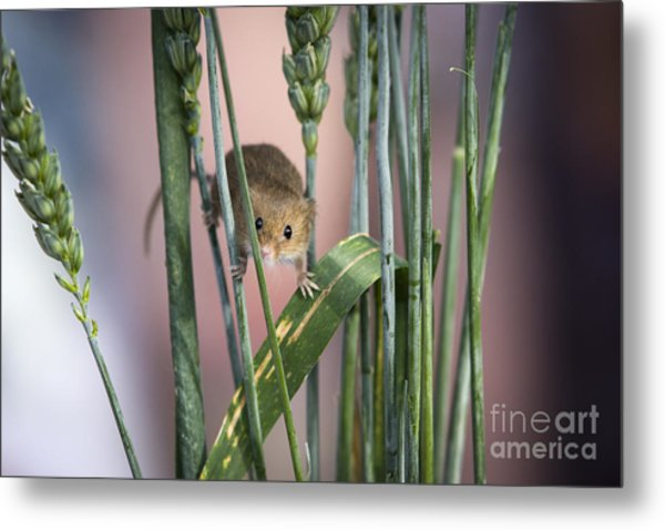 Harvest Mouse In Grass Metal Print by Philip Pound
