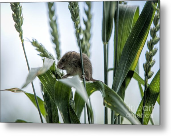 Harvest Mouse On Stalks Of Grass Metal Print by Philip Pound