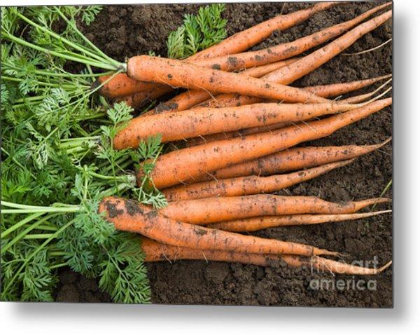 Harvested Organic Carrots Metal Print