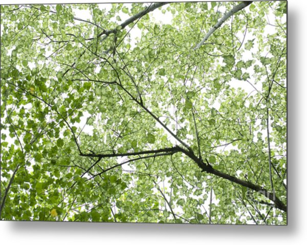 Hau Tree Canopy Metal Print