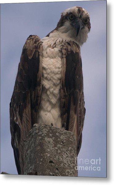 Hawk Attitude Metal Print