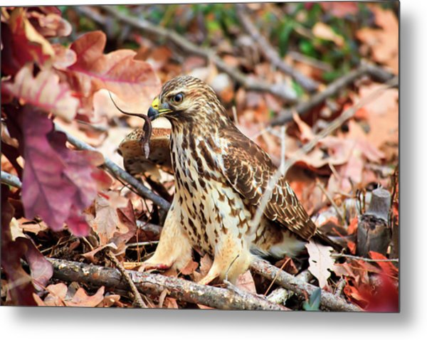 Hawk Catches Prey Metal Print