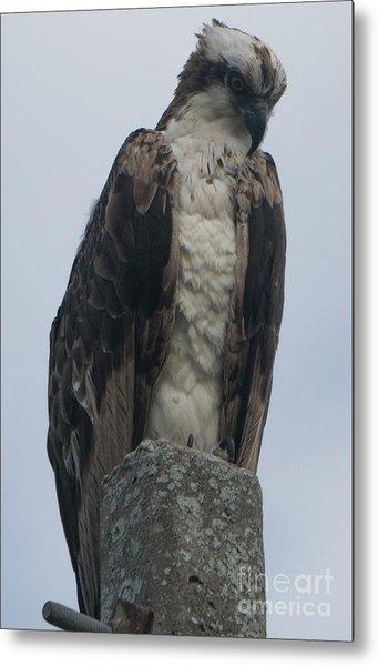 Hawk Facing Down Metal Print