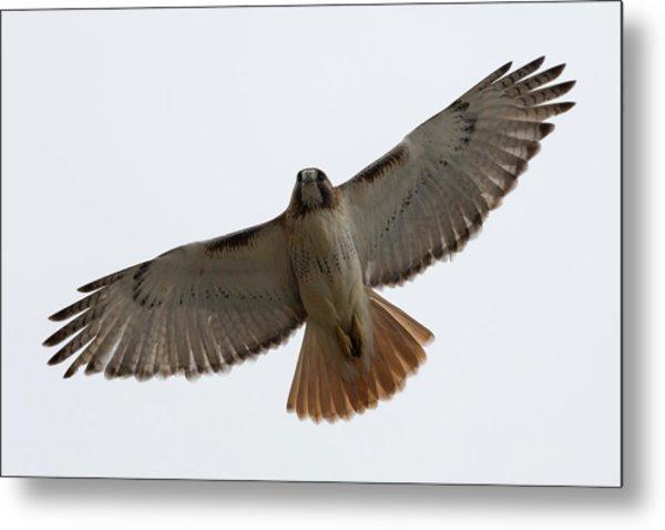 Hawk Overhead Metal Print