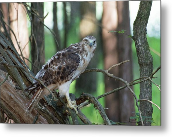 Hawk Portrait Metal Print
