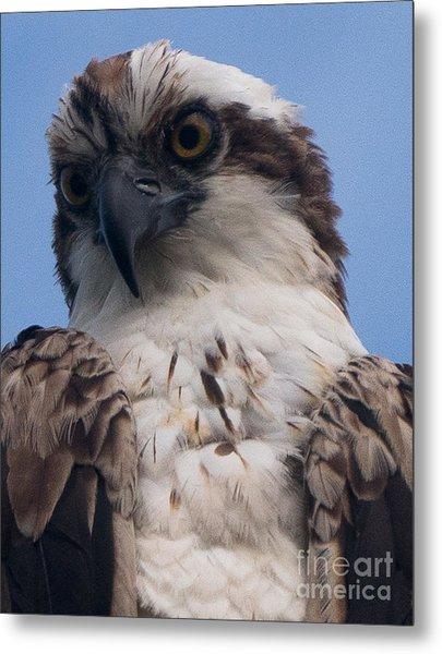 Hawk Profile Metal Print