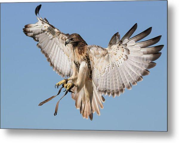 Hawk Showing Off Metal Print