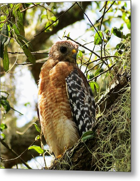 Hawk Taking A Rest On A Tree In Lakeland Florida Metal Print