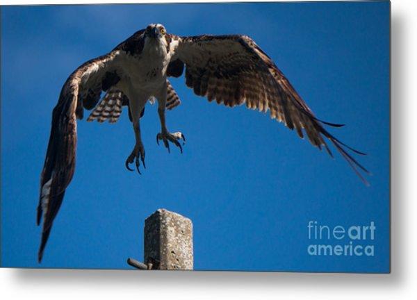 Hawk Taking Off Metal Print