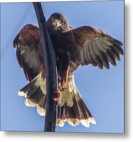 Hawk Watch 6 Metal Print