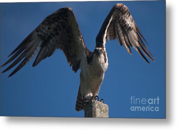 Hawk Wings Metal Print