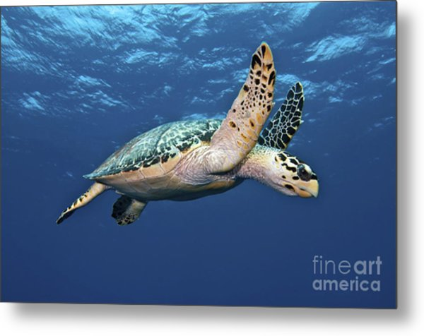Metal Print featuring the photograph Hawksbill Sea Turtle In Mid-water by Karen Doody