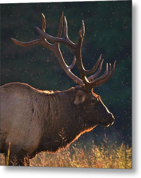 Head Of The Herd Metal Print