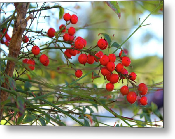 Metal Print featuring the photograph Heavenly Bamboo by Alison Frank