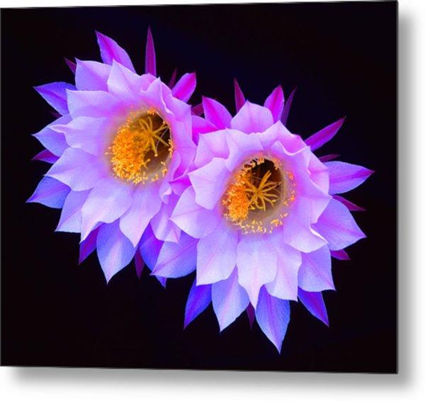 Hedgehog Cactus Flower Metal Print