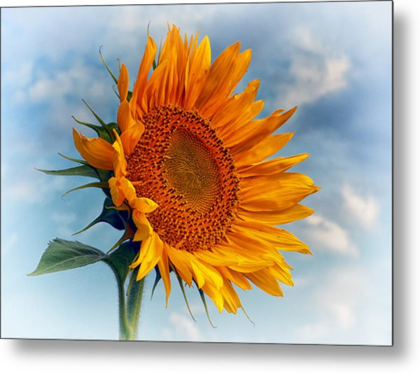 Helianthus Annuus Greeting The Sun Metal Print
