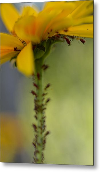 Heliopsis Infested Metal Print