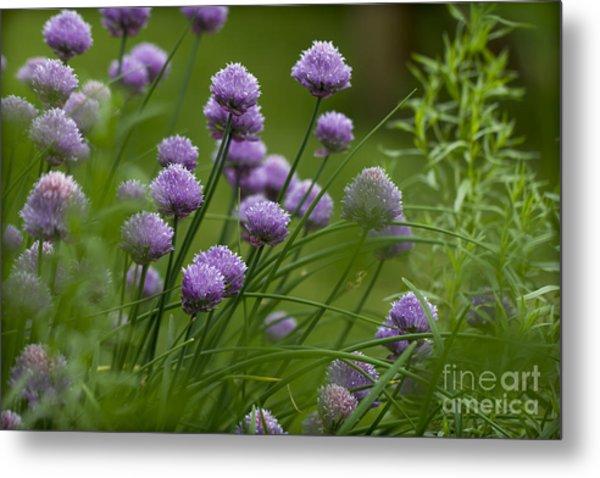 Herb Garden. Metal Print