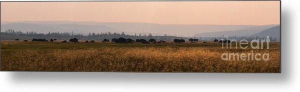 Herd Of Bison Grazing Panorama Metal Print