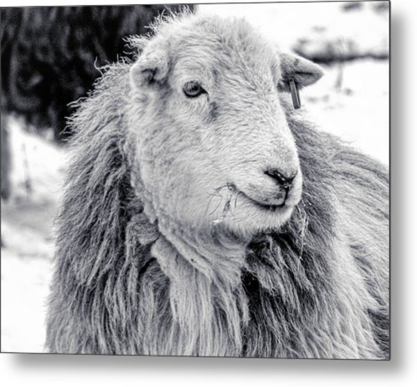 Herdwick Sheep Metal Print
