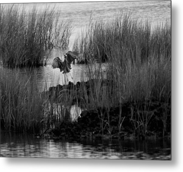 Heron And Grass In B/w Metal Print